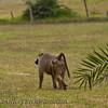 Yellow Baboon  (Papio cynocephalus)