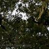 Black-and-white (Guereza) Colobus  (Colobus guereza)