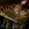 Blotched Genet  (Genetta tigrina)