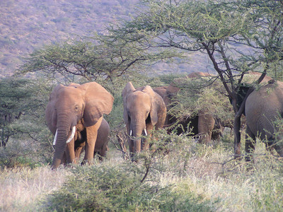Elephants and Accacias.
