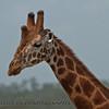 Common (Masai) Giraffe  (Giraffe camelopardalis)