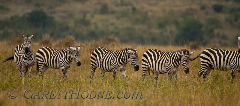 Common (Burchell's) Zebra  (Equus quagga burchelli)