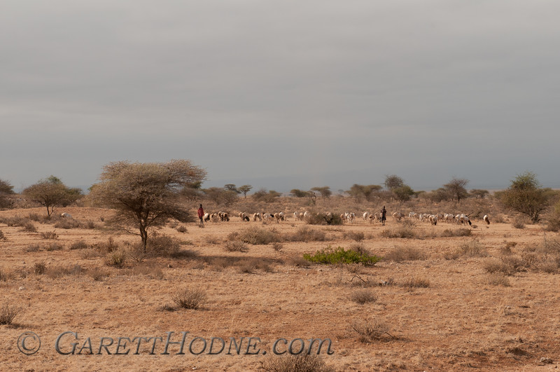 Two Masai boys tending to their goat herds.