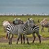 Common (Burchell's) Zebra  (Equus quagga burchelli)