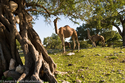 Camels eating of Argania trees