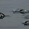 Gentoo Penguins (Pygoscelis papua)