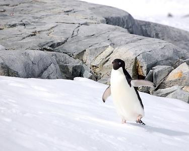 Antarctica: Adelie Penguin