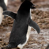 Adelie Penguin (Pygoscelis adeliae) running away with it's booty.