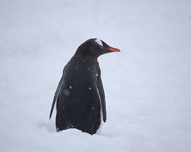 Antarctica: Gentoo Penguin