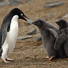 Adelie Penguin (Pygoscelis adeliae) scolding its chicks.