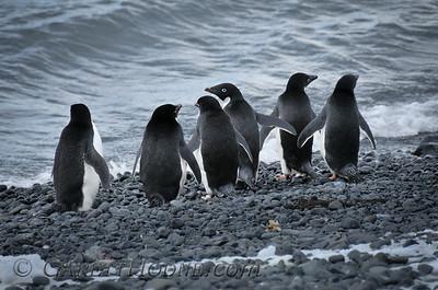 Adelie Penguins (Pygoscelis adeliae)