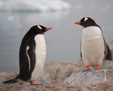 Antarctica: Gentoo Penguins