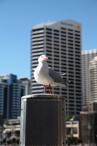 """Mine!"" Seagull at Darling Harbour, Sydney."