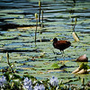 Northern Jacana (Jacana spinosa)