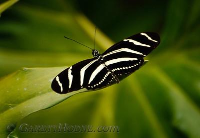 Zebra Heliconian (Heliconius charitonius)