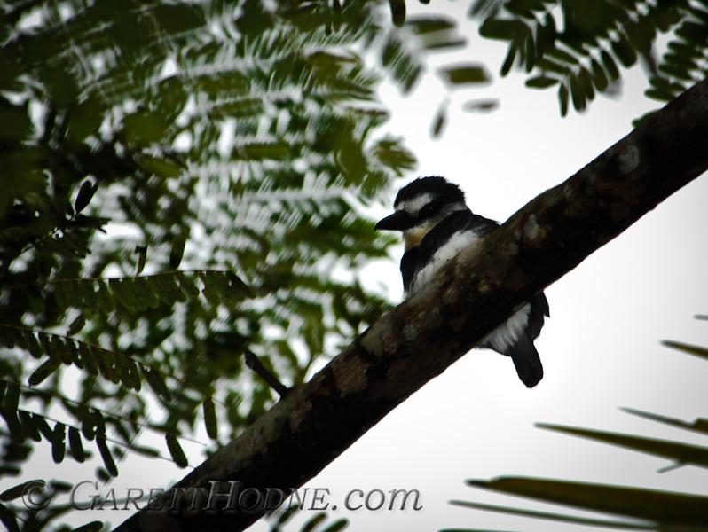 White-necked Puffbird (Notharchus hyperrhynchus)