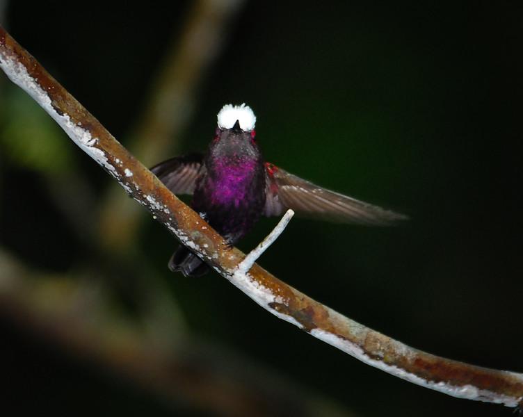 Snowcap (Microchera albocoronata)