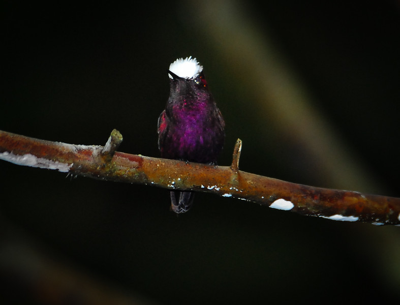 Snowcap (Microchera albocoronata