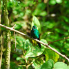 Green-crowned Brilliant (Heliodoxa jacula),