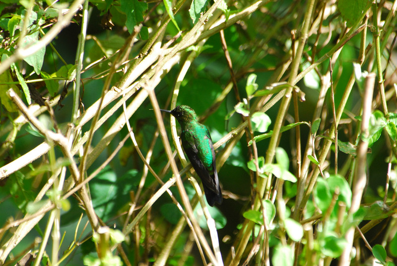 Green-crowned Brilliant (Heliodoxa jacula),