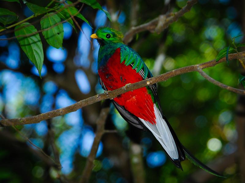 Resplendent Quetzal (Pharomachrus mocinno),