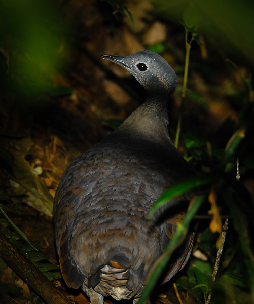 Great Tinamou (Tinamus major) at dusk along the trail
