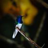 White-necked Jacobin (Florisuga mellivora