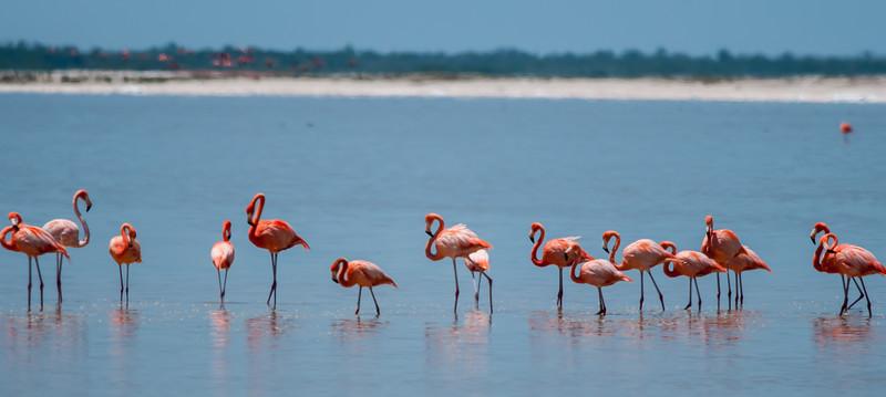 American Flamingo (Phoenicopterus ruber)
