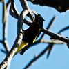 Yellow-winged Cacique (Cacicus melanicterus)