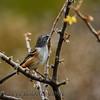 Bridled Sparrow (Aimophila mystacalis)
