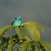 Blue Dacnis (Dacnis cayana)