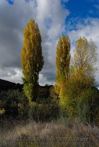 Poplars near Montes de Toledo
