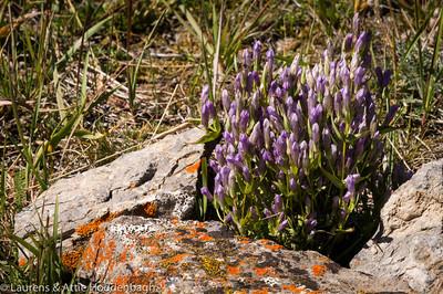 Wildflowers in Jasper Nat'l Park, Alberta, CA