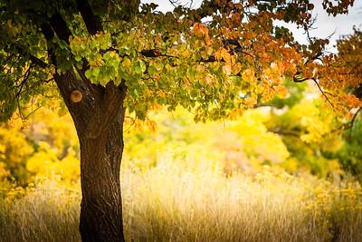 Fall in Capitol Reef Nat'l Park, Utah