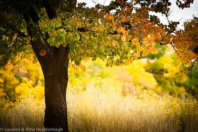 Fall in Capitol Reef Nat'l Park, Utah  Filename: CEM010202-CapitolReef-UT-USA.jpg