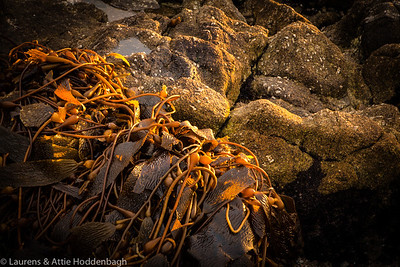 Seaweed at Beach of Carmel at sunset, California, USA  Filename: CEM010852-Carmel-CA-USA.jpg