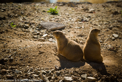 Prairie Dogs at the Sonora Desert Museum  Filename: CEM004479-Sonora_Desert_Museum-AZ-USA.jpg