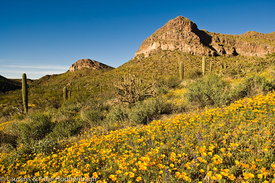 Wild flowers at Organ Pipe Cactus National Monument
