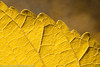 "Autumn leaf  <div class=""ss-paypal-button"">Filename: CEM007596-AutumnLeaves-CA-USA.jpg</div><div class=""ss-paypal-button-end"" style=""""></div>"