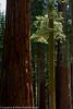 Sequoia trees at Mariposa Grove, Yosemite NP