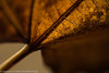 "Autumn leaf  <div class=""ss-paypal-button"">Filename: CEM007617-AutumnLeaves-CA-USA.jpg</div><div class=""ss-paypal-button-end"" style=""""></div>"
