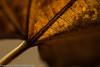 "Autumn leaf  <div class=""ss-paypal-button"">Filename: CEM007617-AutumnLeaves-CA-USA.jpg</div><div class=""ss-paypal-button-end"" style=""""></div>"
