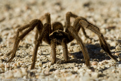 Tarantula in Death Valley, CA