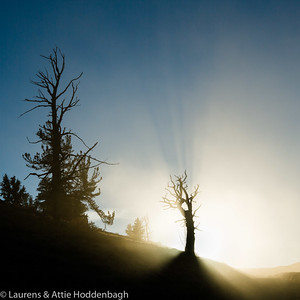 Sun shines through the dust of 4WD's in Bristlecone pine forest
