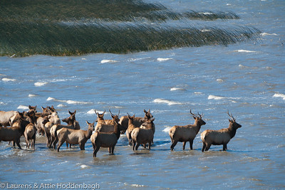 Elk in the Stone Lagoon