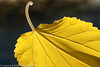 "Autumn leaf  <div class=""ss-paypal-button"">Filename: CEM007626-AutumnLeaves-CA-USA.jpg</div><div class=""ss-paypal-button-end"" style=""""></div>"