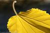 "Autumn leaf  <div class=""ss-paypal-button"">Filename: CEM007626-AutumnLeaves-CA-USA.jpg</div><div class=""ss-paypal-button-end"" style=""""></div>"