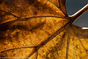 "Autumn leaf  <div class=""ss-paypal-button"">Filename: CEM007637-AutumnLeaves-CA-USA.jpg</div><div class=""ss-paypal-button-end"" style=""""></div>"