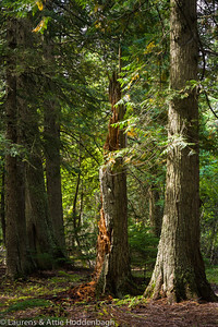 Trail of the Cedars, Glacier National Park, Montana  Filename: CEM06423-GlacierNP-MT-USA.jpg
