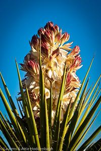Blooming Agave in Oliver Lee Mem. SP